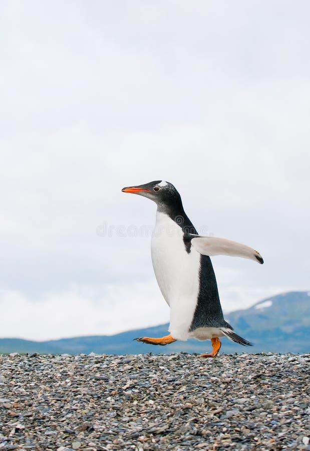 De pinguïn van Gentoo stock afbeelding