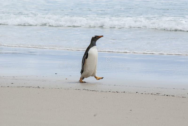 Download De pinguïn van Gentoo stock foto. Afbeelding bestaande uit amerika - 39115860