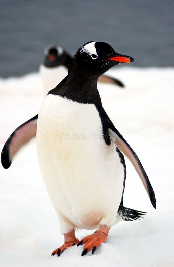 De pinguïn van Gentoo stock foto's