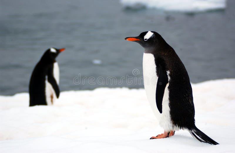 De pinguïn van Gentoo stock foto