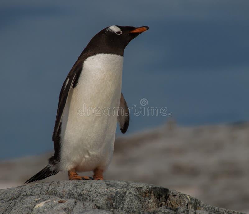 De pinguïn van Gentoo in Antarctica royalty-vrije stock afbeelding