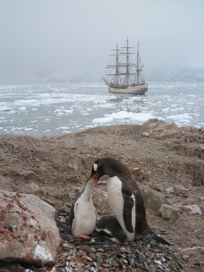 De pinguïn van Gentoo het voeden bij Haven Neko royalty-vrije stock afbeelding
