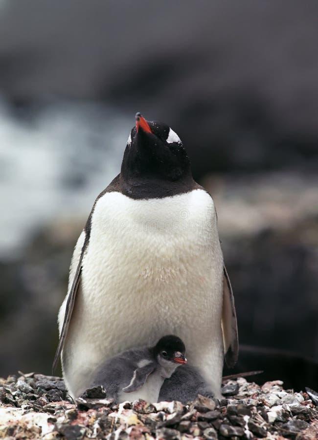 De pinguïn van Gentoo met kuiken royalty-vrije stock afbeeldingen