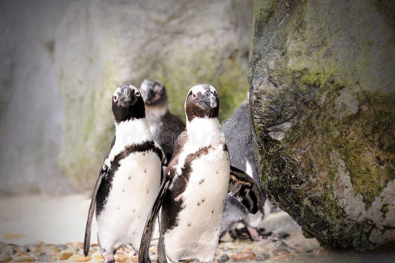 De Pinguïn van Humboldt stock fotografie