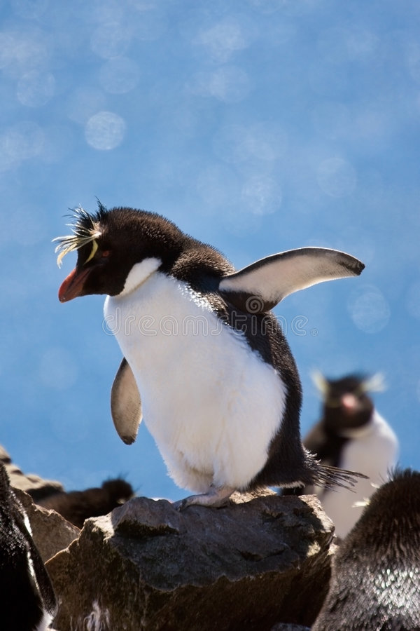 De pinguïn van Rockhopper stock afbeelding