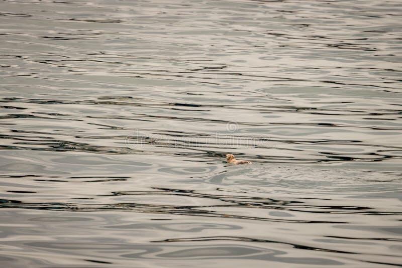De pinguïn zwemt weg op Kalme Overzees met Negatieve Exemplaarruimte stock afbeelding