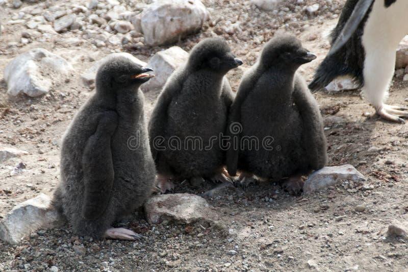 De pinguïnbeginnelingen van trioadelie royalty-vrije stock fotografie