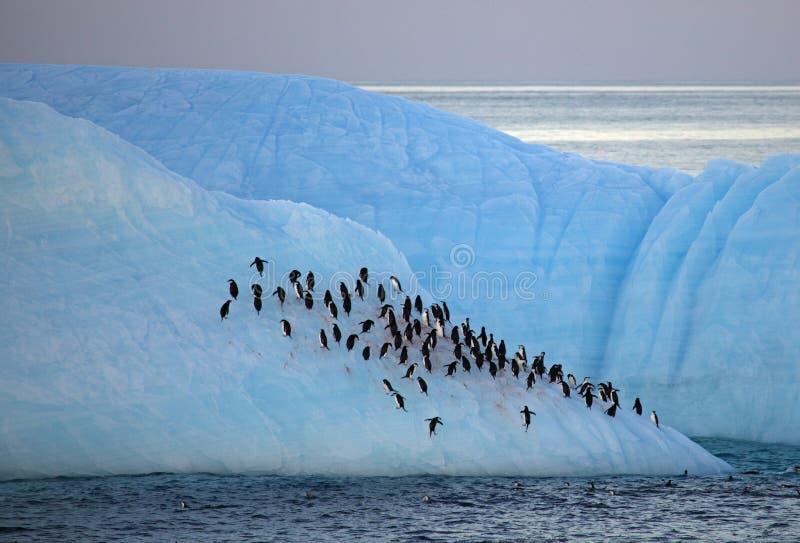 De pinguïnen die van Chinstrap op ijsberg, Antarctica rusten stock afbeeldingen
