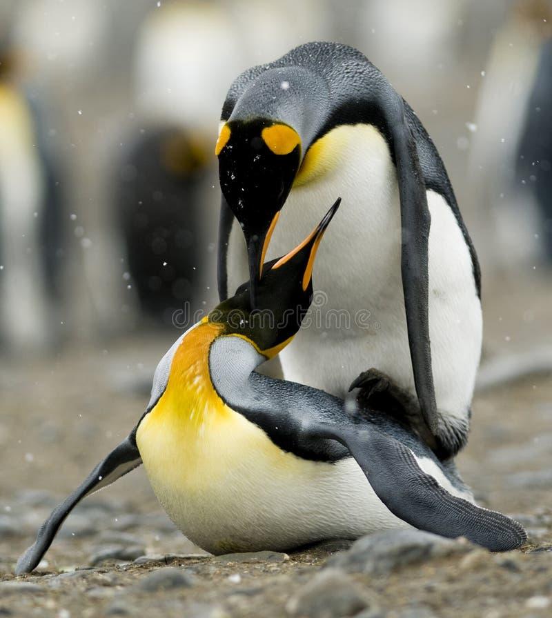 De Pinguïnen die van de koning in sneeuwdaling koppelen. stock afbeeldingen