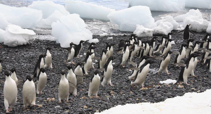 De Pinguïnen van Adelie royalty-vrije stock foto