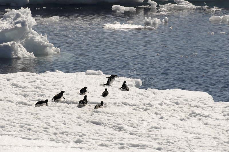 De pinguïnen van Adelie op ijsijsschol royalty-vrije stock afbeeldingen