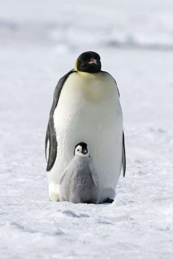 De pinguïnen van de keizer (forsteri Aptenodytes) royalty-vrije stock afbeelding