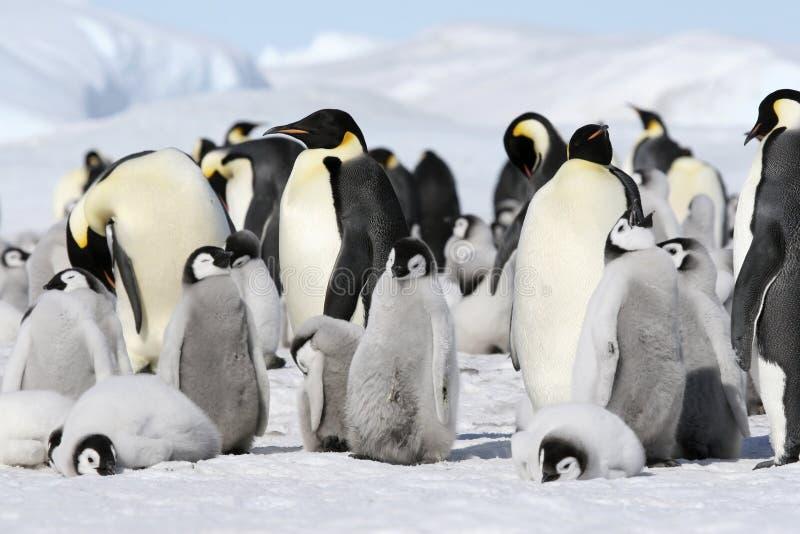 De pinguïnen van de keizer (forsteri Aptenodytes) stock afbeeldingen