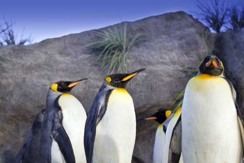 De Pinguïnen van de koning stock fotografie