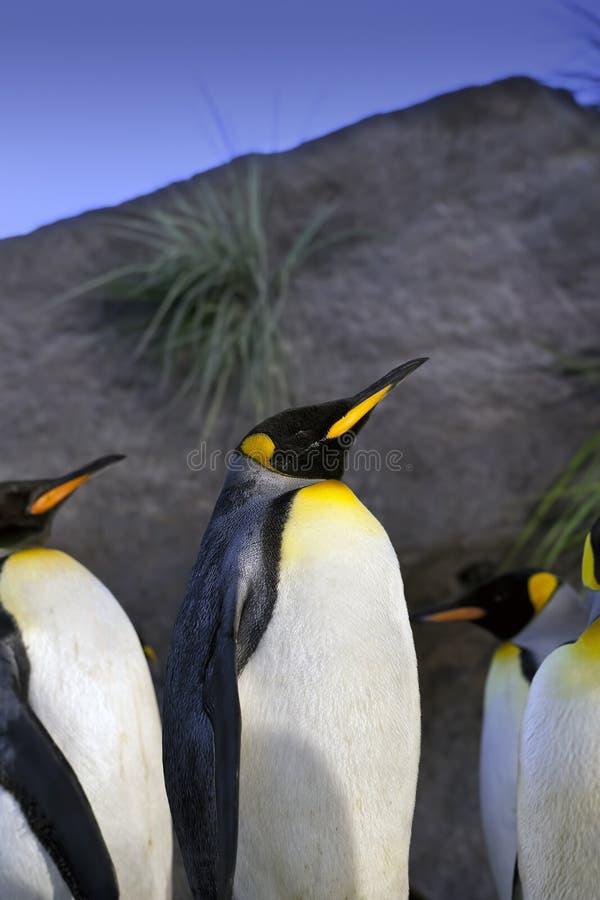 De Pinguïnen van de koning royalty-vrije stock fotografie