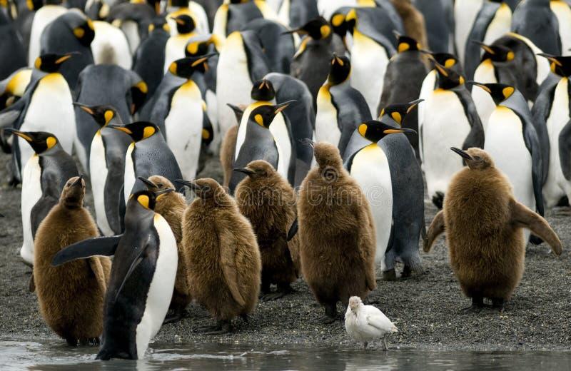 De Pinguïnen van de koning bij de Rand van het Water royalty-vrije stock fotografie