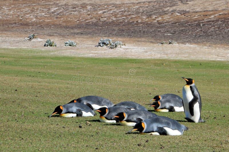 De pinguïnen van de Plankingskoning, aptenodytes patagonicus, Saunders, Falkland Islands royalty-vrije stock afbeelding