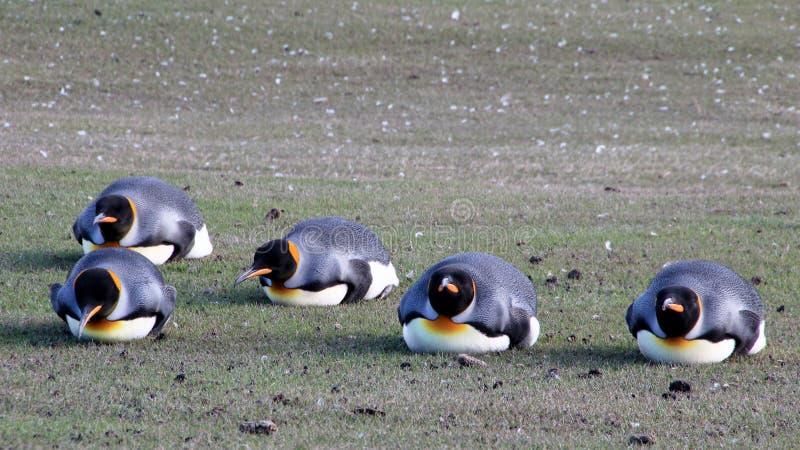 De pinguïnen van de Plankingskoning, aptenodytes patagonicus, Saunders, Falkland Islands stock foto's