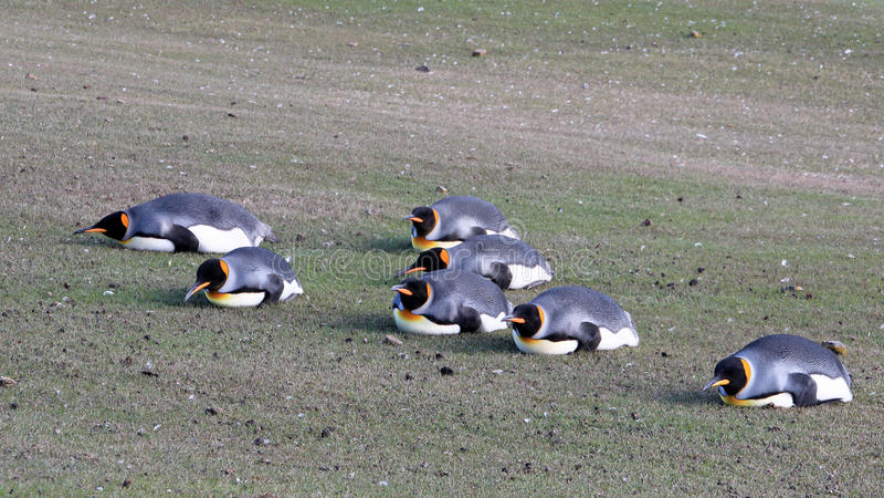De pinguïnen van de Plankingskoning, aptenodytes patagonicus, Saunders, Falkland Islands stock foto