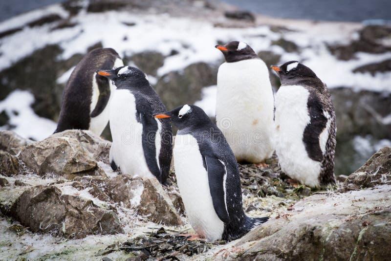 De pinguïnen van Gentoo stock afbeelding