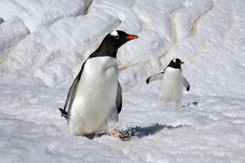 De Pinguïnen van Gentoo - Eiland Danko - Antarctica royalty-vrije stock foto