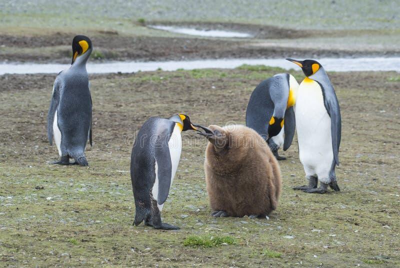 De pinguïnen van de koning met kuiken stock afbeelding