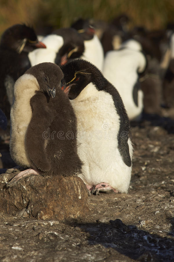 De Pinguïnen van Rockhopper - Falkland Eilanden royalty-vrije stock afbeelding