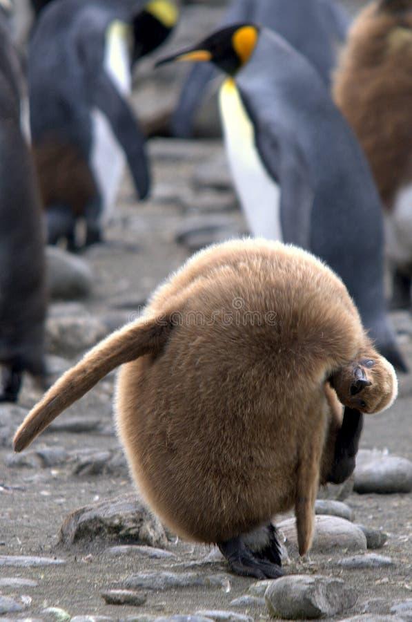 De pinguïnkuiken die van de babykoning zijn oor krassen stock fotografie