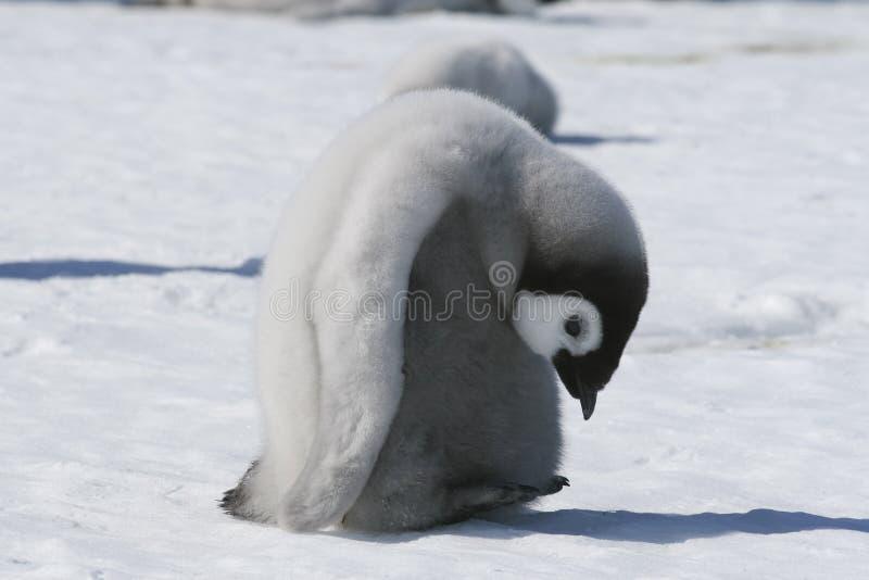 De pinguïnkuiken van de keizer royalty-vrije stock fotografie