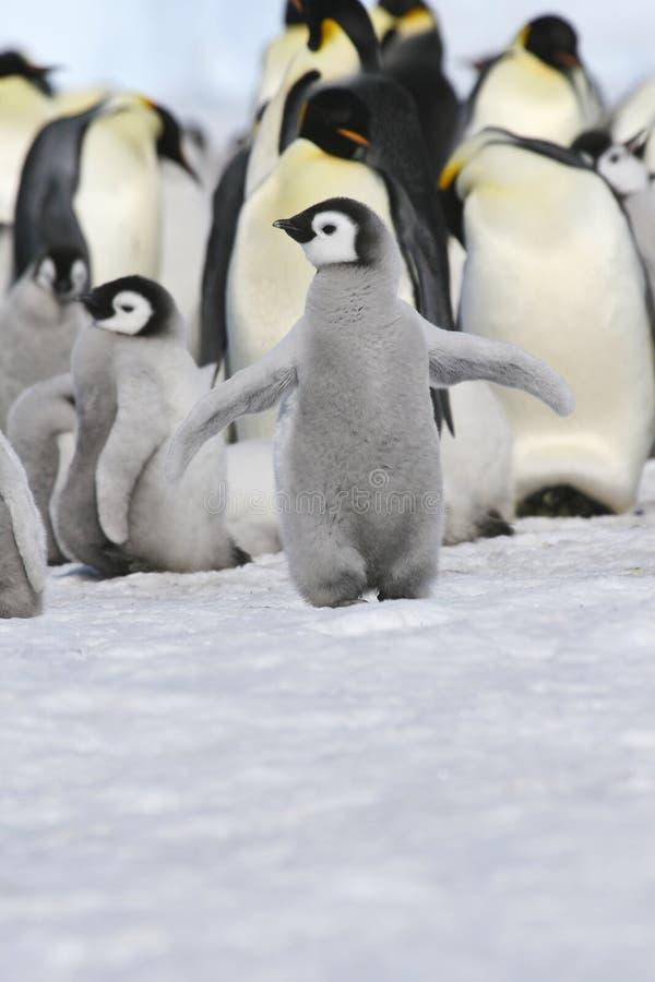 De pinguïnkuiken van de keizer stock foto