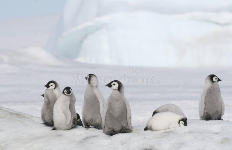 De pinguïnkuikens van de keizer stock foto