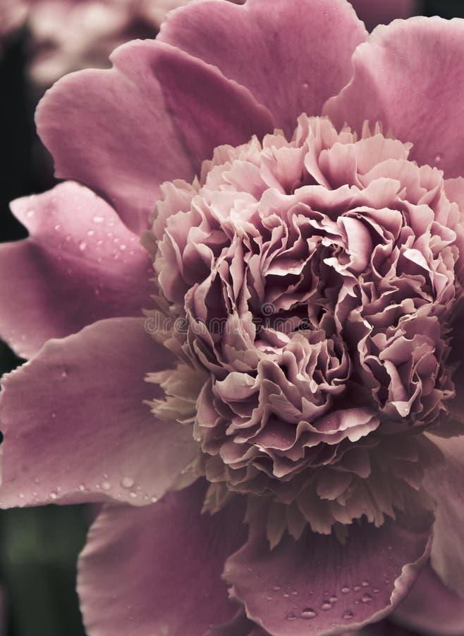 De pioen nam in volledige bloei toe tijdens de lentetijd stock fotografie