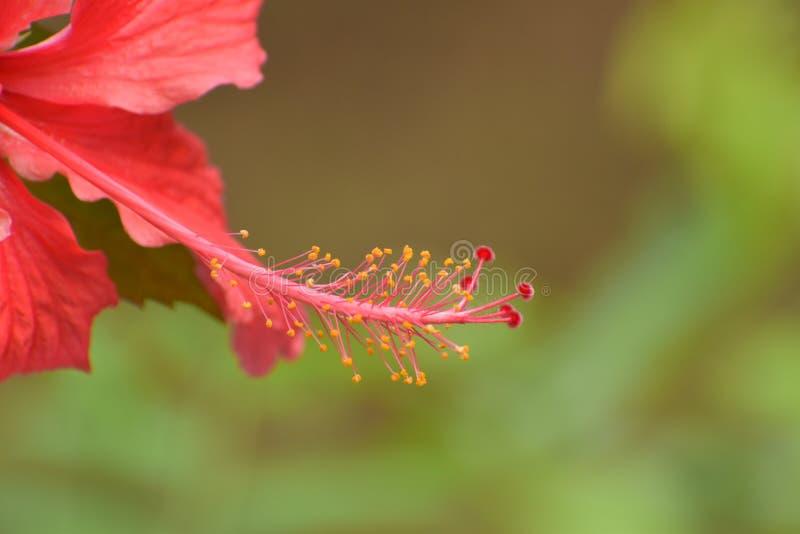 De Pistil van de Hibiscus-bloem royalty-vrije stock foto's