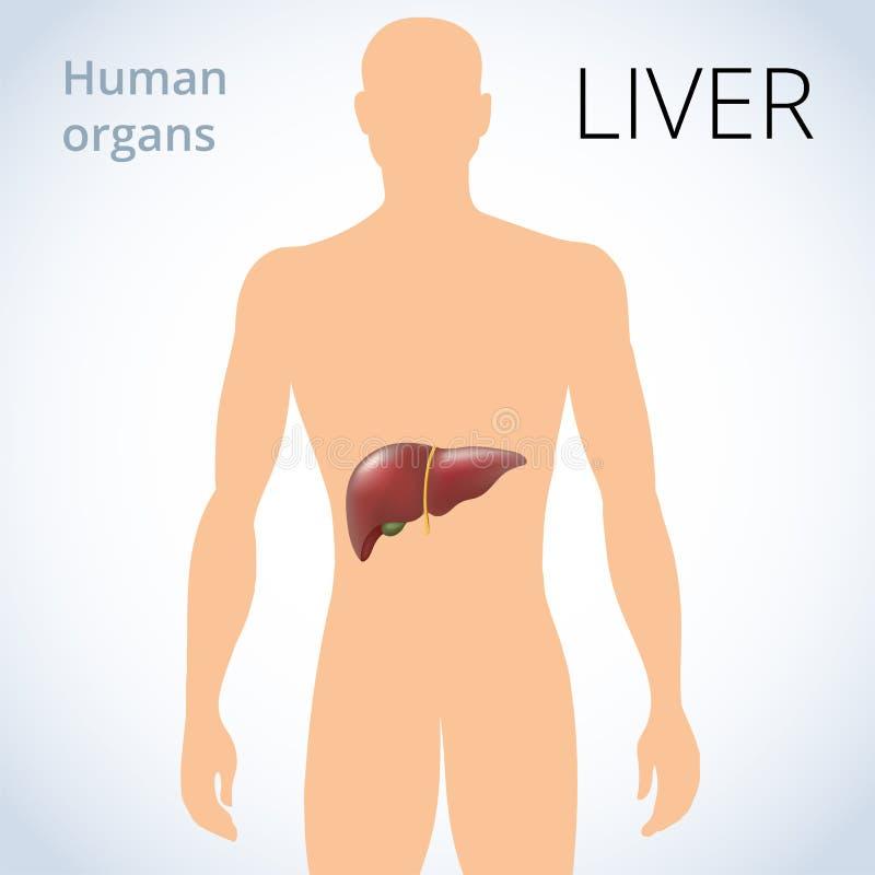De plaats van de lever in het lichaam, het menselijke spijsverteringssysteem royalty-vrije illustratie