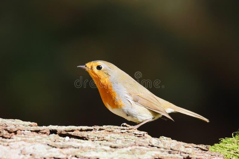 De plaatsing Europese van Robin (Erithacus-rubecula) op een tak royalty-vrije stock foto