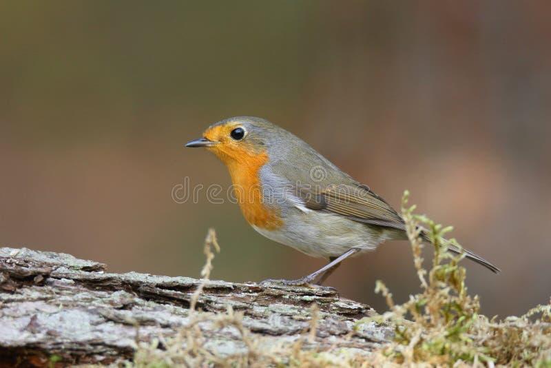 De plaatsing Europese van Robin (Erithacus-rubecula) op een tak stock foto