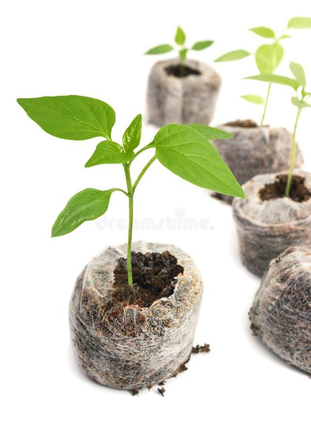 De plantaardige die installaties van de zaailing in turftablet worden gekweekt stock fotografie