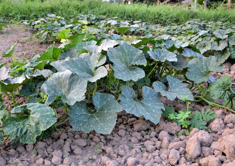 Download De Plantaardige Landbouwers Van Thailand Stock Afbeelding - Afbeelding bestaande uit klimaat, growing: 54079243