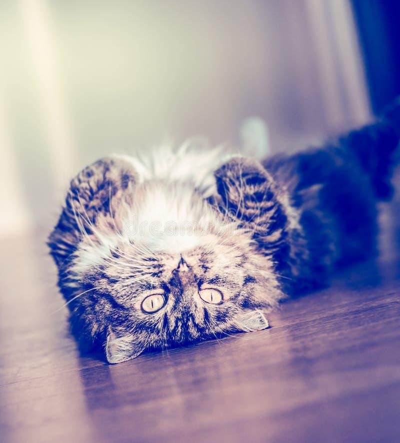De pluizige grappige kat die en zet haar terug op de parketvloer aan en het bekijken de camera liggen stock afbeeldingen