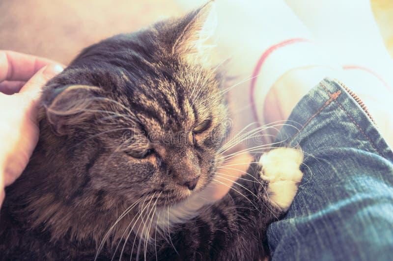 De pluizige kat die op benen van een vrouw liggen, sluit omhoog stock foto's