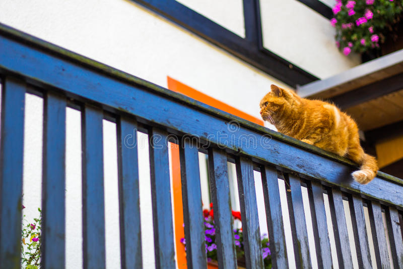 De pluizige kat die van de gembergestreepte kat op oude houten omheining lopen royalty-vrije stock foto