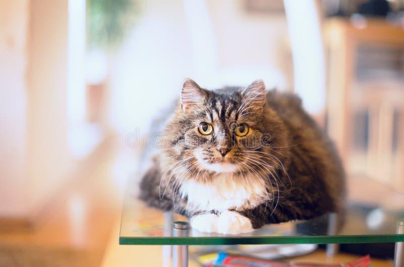 De pluizige kat ligt en bekijkt camera over horizontale huisachtergrond, royalty-vrije stock afbeelding