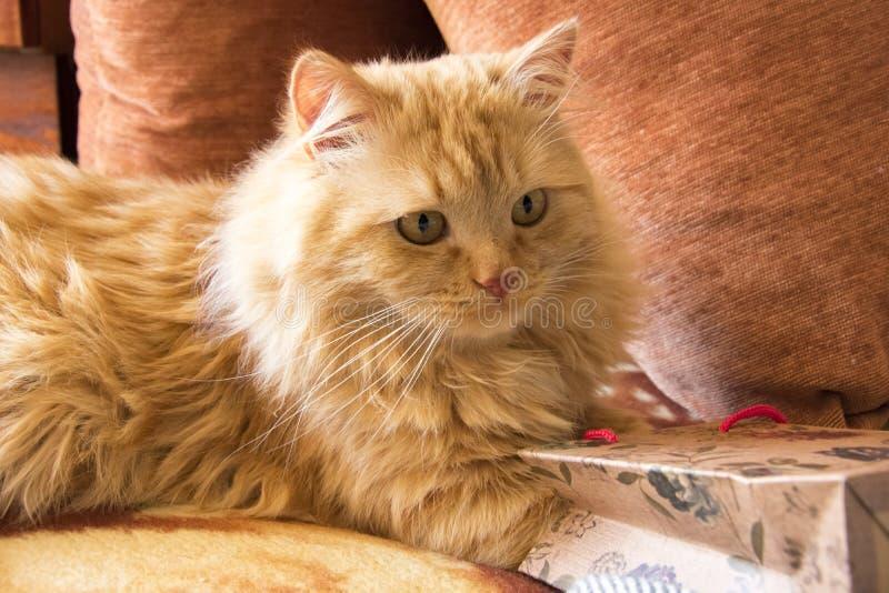 De pluizige rode kat krijgt een gift van een pakket die op de laag onder de hoofdkussens liggen stock afbeeldingen