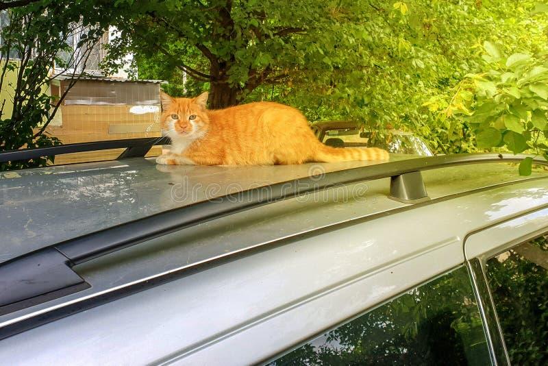 De pluizige rode kat ligt op het zilveren dak van de auto stock afbeelding