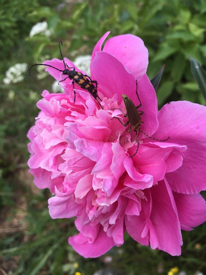 De pluizige roze achtergrond van pioenenbloemen met bijen stock foto