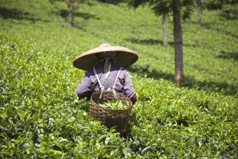 De plukker van de thee royalty-vrije stock afbeelding
