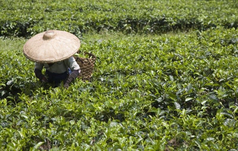 De plukker van de thee stock afbeelding
