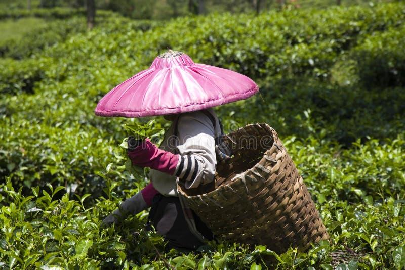 De plukker van de thee stock afbeeldingen