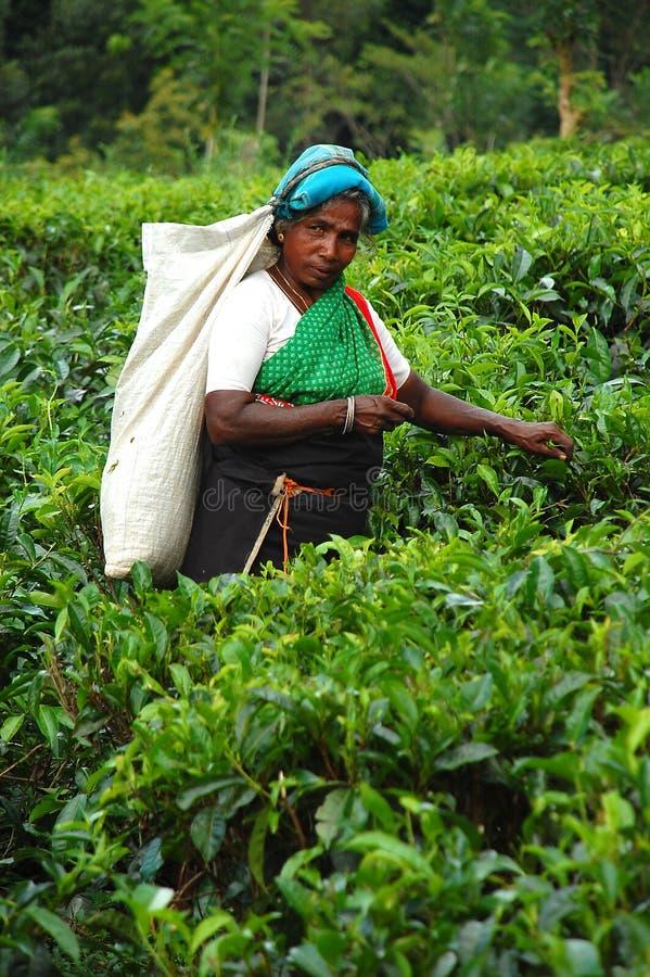 De plukker van de Thee bij de Aanplanting in Sri Lanka stock foto