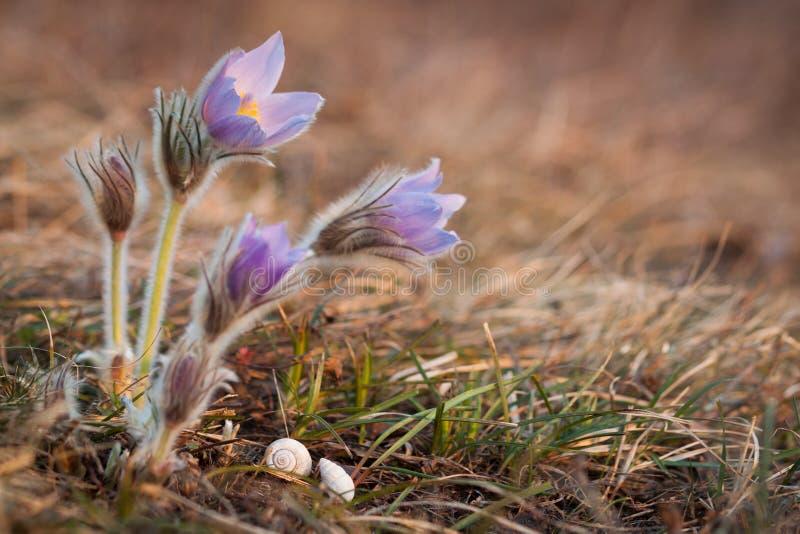 De plus grandes fleurs de pasque avec des coquilles d'escargot photographie stock libre de droits